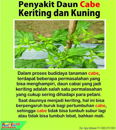 penyakit keriting tanaman cabe