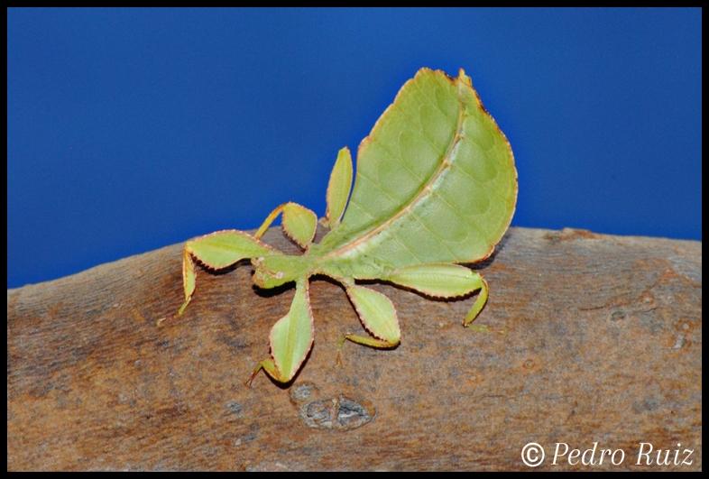 Ninfa hembra L4 de Phyllium philippinicum, 3 cm de longitud