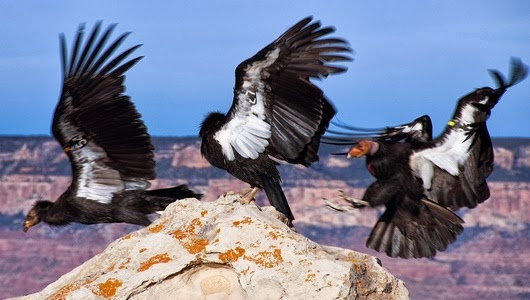 California Condor Birds World
