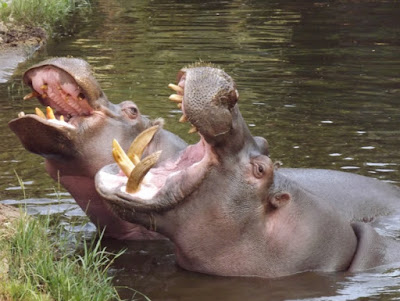 Hippos teeth can grow up to 3 feet in length.
