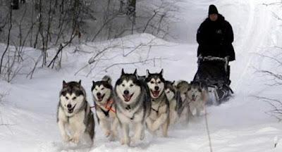anjing Alaskan Malamute balto menarik kereta salju