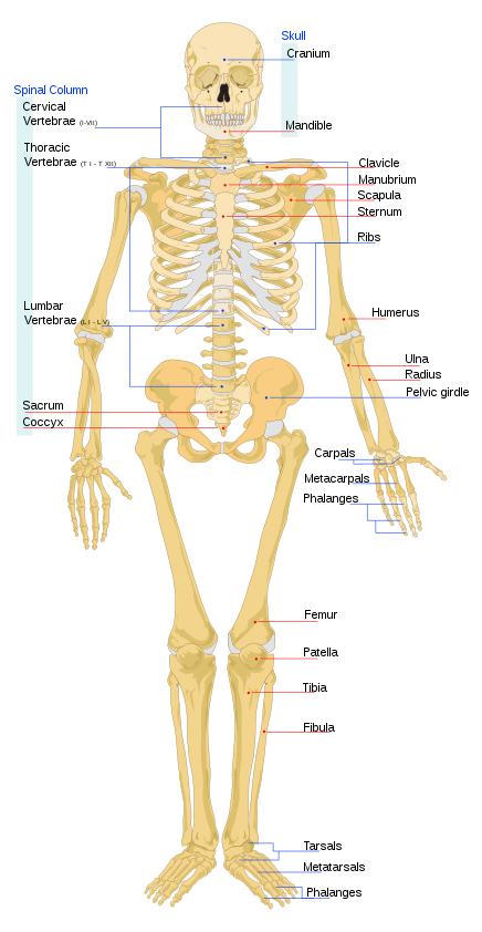 Bagian-bagian tubuh rangka manusia