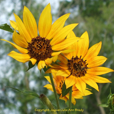 A Pretty Trio of Yellow Sunflower Blossoms