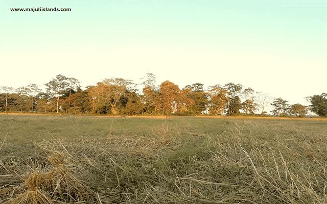 Paddy Field Majuli Island