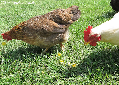 Scrambled Eggs- it may seem ironic to feed chickens eggs, but eggs are an outstanding source of protein, vitamin A, vitamin E and beta carotene.