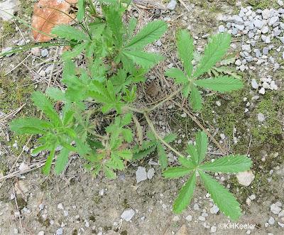 cinquefoil leaves