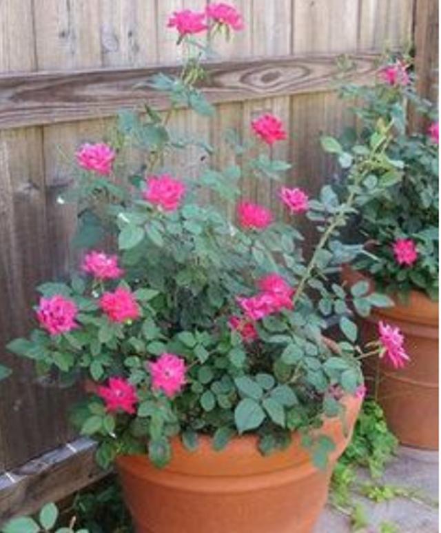 Tips Tanaman Dan Penjagaan Pokok Bunga Ros....
