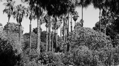 black and white photo of palm trees botanical gardens williamstown photo by sue wellington