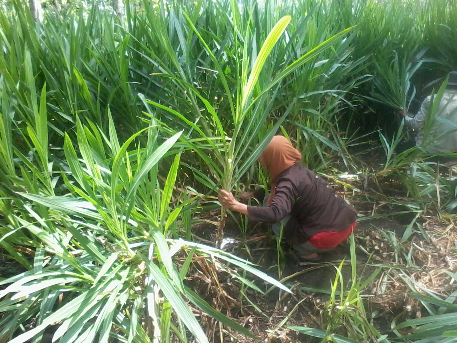 Proses Panen Untuk Persiapan Bibit Rumput Odot Dan King