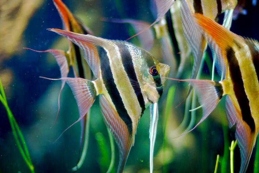 Manfish ikan cantik di akuarium ikan cantik