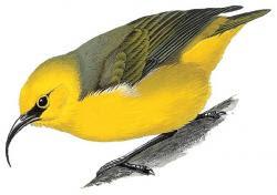 Hemignathus affinis