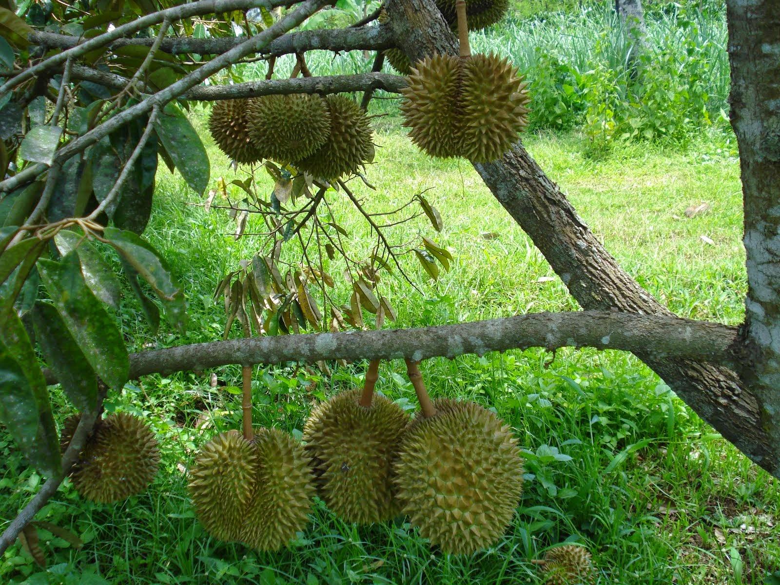 Gambar Buah Durian Mantap  Aku Buah Sehat