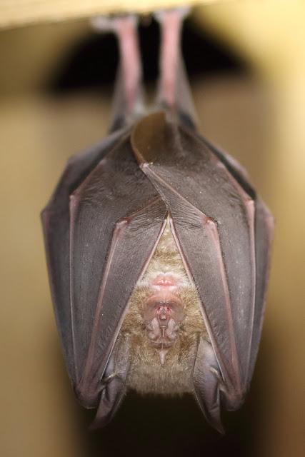 Greater Horseshoe Bat - Photo copyright Mike Symes