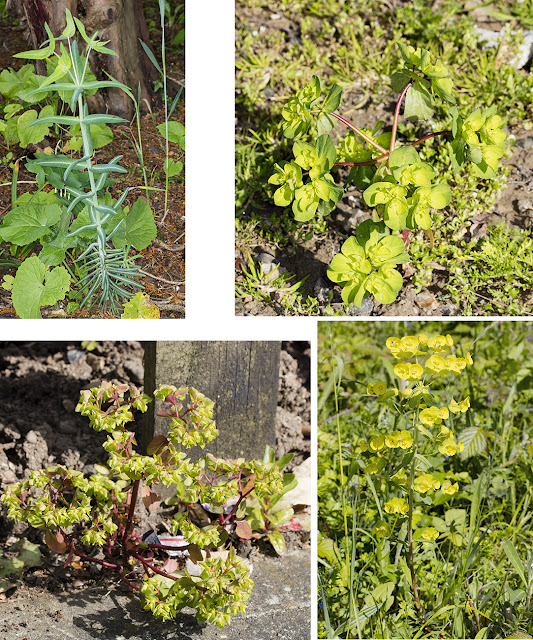 Clockwise from top left: Caper Spurge, Sun Spurge, Wood Spurge and Petty Spurge.