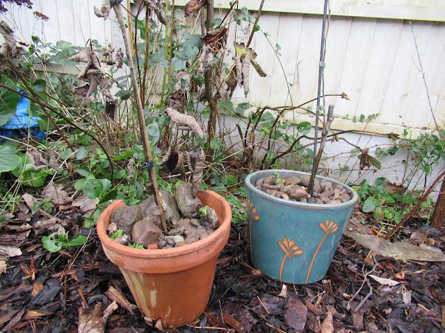 Diary of a suburban permaculture -ish garden, February 2020.  From UK suburban garden blogger secondhandsusie.blogspot.com #suburbanpermaculture #permacultre #ukgardenblogger