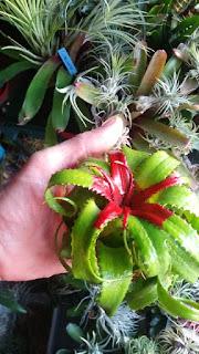 Neoregelia péndula brevifolia