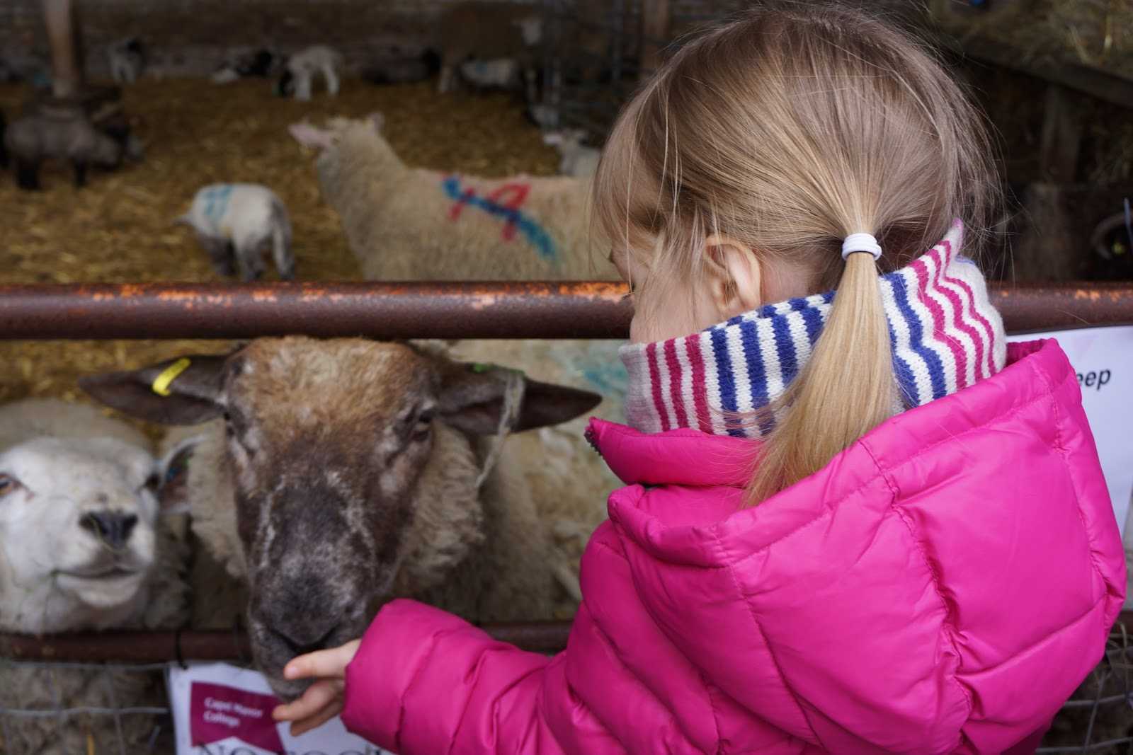 girl feeding a lamb