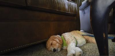 St bernard poodle mix Temperament, Size, Adoption, Lifespan, Price
