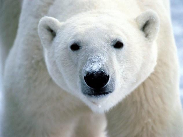أغرب الحقائق عن الدببة القطبية , الجزء الأول