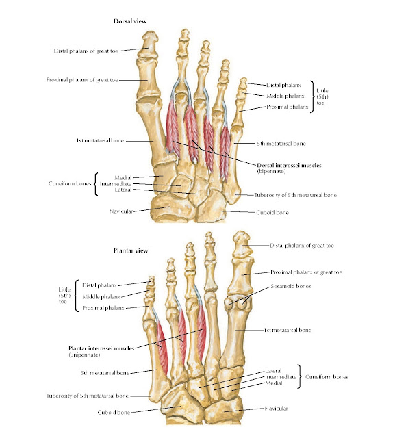 Interosseous Muscles of Foot Anatomy
