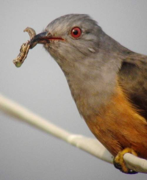 Indian birds - Image of Plaintive cuckoo - Cacomantis merulinus