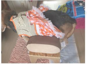 mantendo cão paralisado em pé