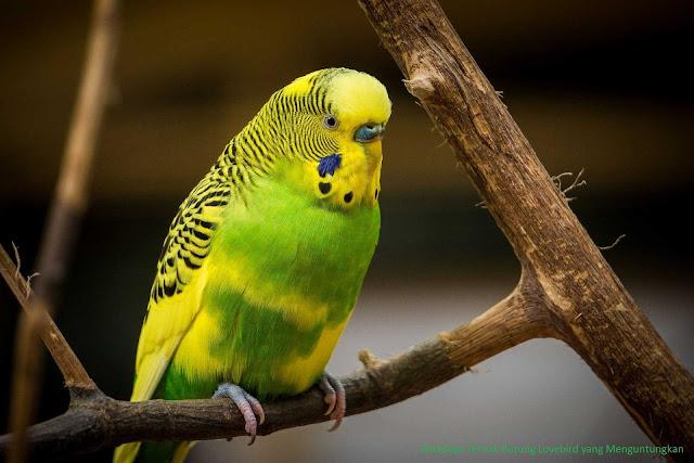 Ternak burung lovebird mungkin sudah banyak dilakukan akan tetapi belum tentu semuanya da Budidaya Ternak Burung Lovebird yang Menguntungkan