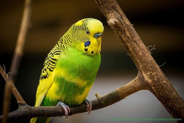 Budidaya Ternak Burung Lovebird yang Menguntungkan