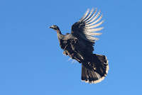 Wild Turkey in flight – Morgan Hill, CA – Nov. 2016 – photo by Grendelkhan