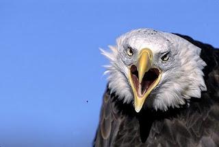 http://www.thebirdali.com/2011/01/chicken-eagle_06.html