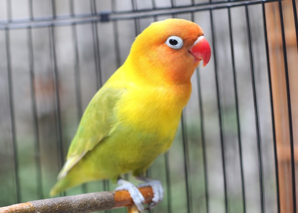 Cara Merawat Burung Love Bird biar Gacor