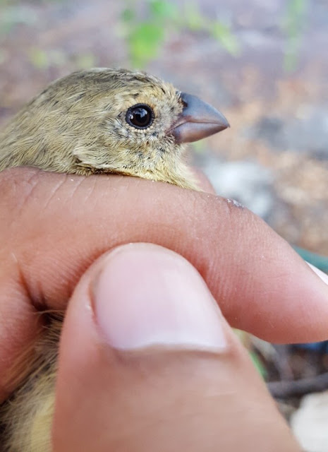 Genetic diversity couldn't save Darwin's finches