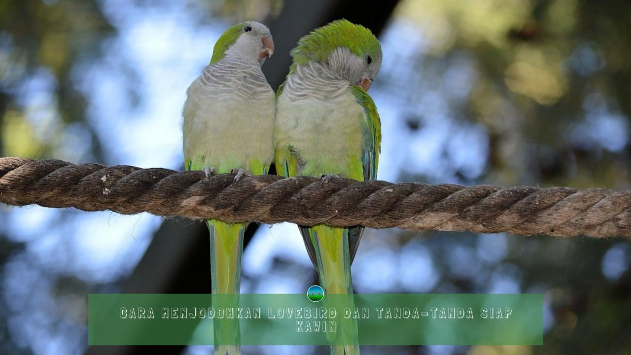 Cara Menjodohkan Lovebird dan Tanda-Tanda Siap Kawin