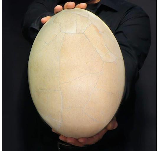 Dagli scheletri alle uova di uccelli elefante: gli oggetti più singolari acquistati nel 2020
