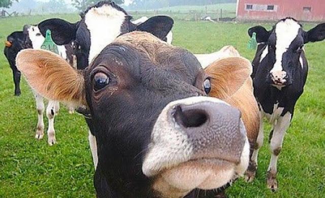 Германската полиция и хеликоптери преследват 4 часа разбесняла се крава
