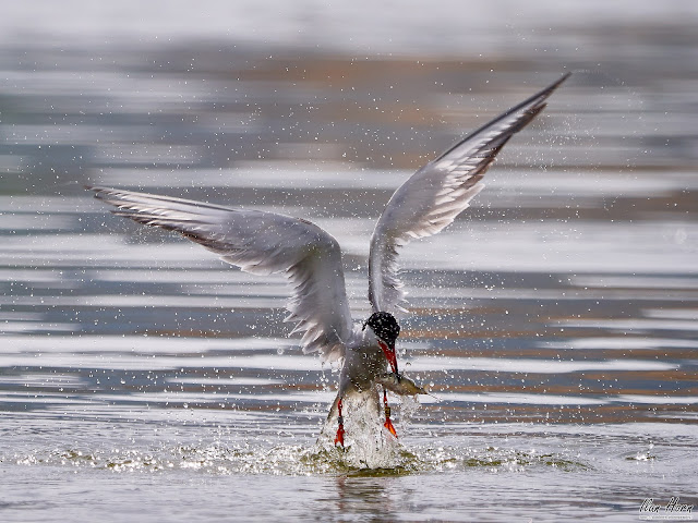 Tern Caught a Fish