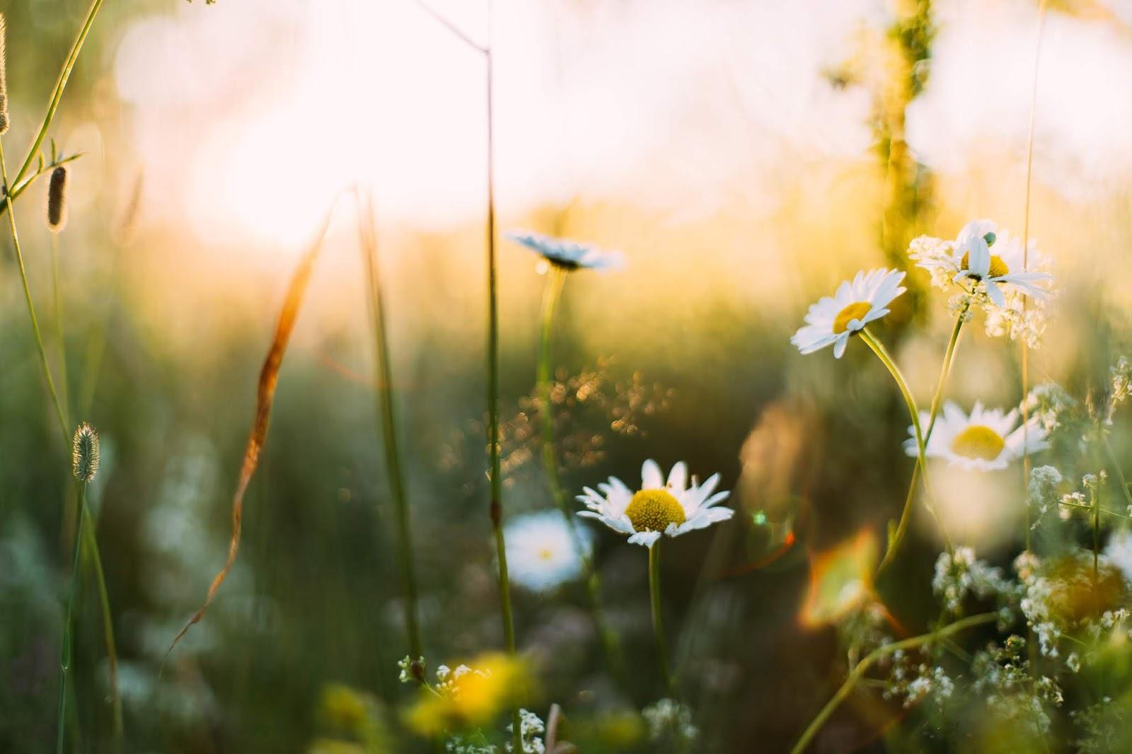 Tylko kwiaty polne