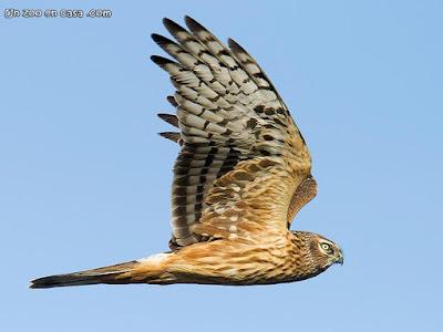 Hen Harrier - Circus cyaneus