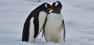 Η δεύτερη μεγαλύτερη αποικία πιγκουίνων χάθηκε σε μία νύχτα λόγω της υπερθέρμανσης του πλανήτη (vid)
