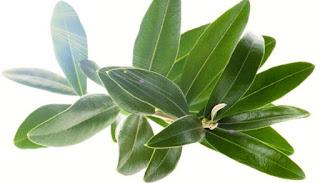 Foglie d'olivo