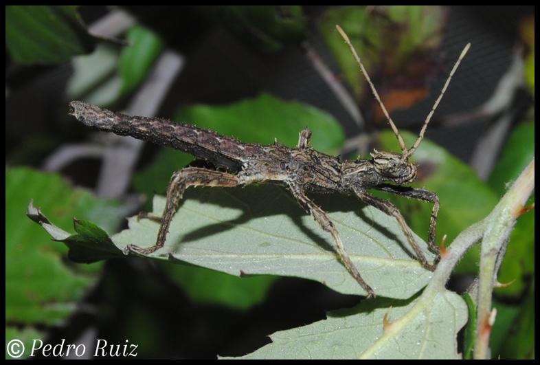 Ninfa macho L1 de Haaniella dehaani, 3 cm de longitud