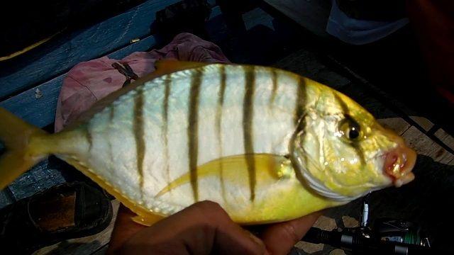 Jenis Ikan Kuwe Macan