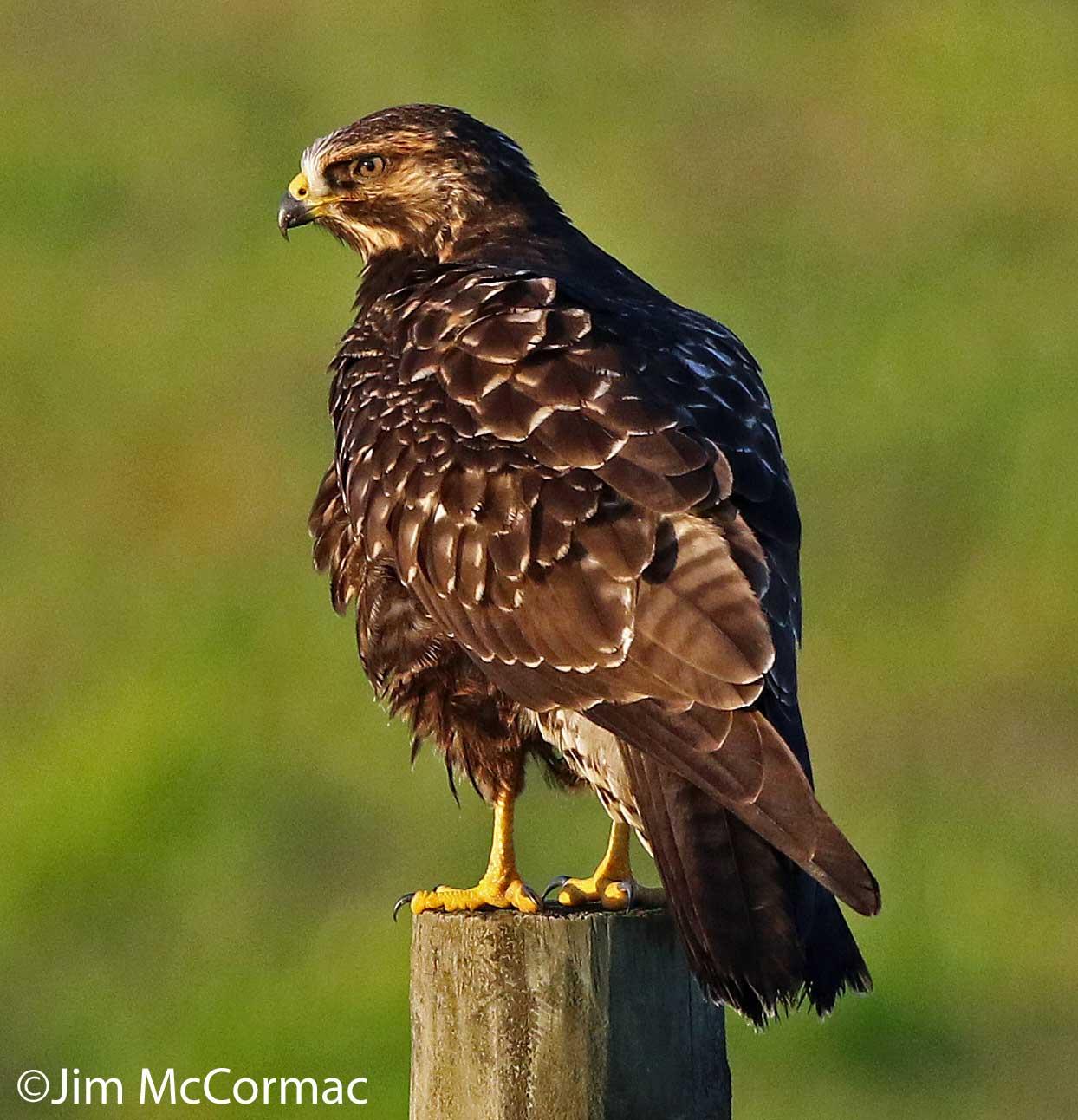 Hawks birds