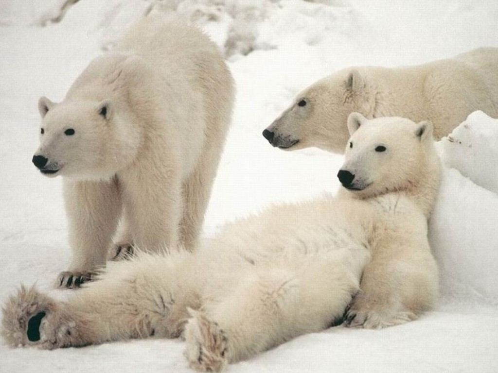 Clip Art And Picture: Polar Bear Wallpaper Desktop