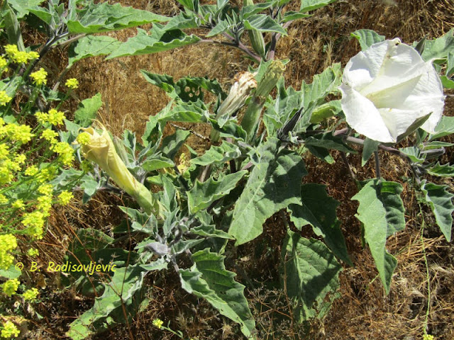 """""""Larry"""" Moore Park in Paso Robles: A Photographic Review - Blooming Mustard and Jimson Weed"""