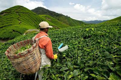 pemetik kebun teh di malaysia