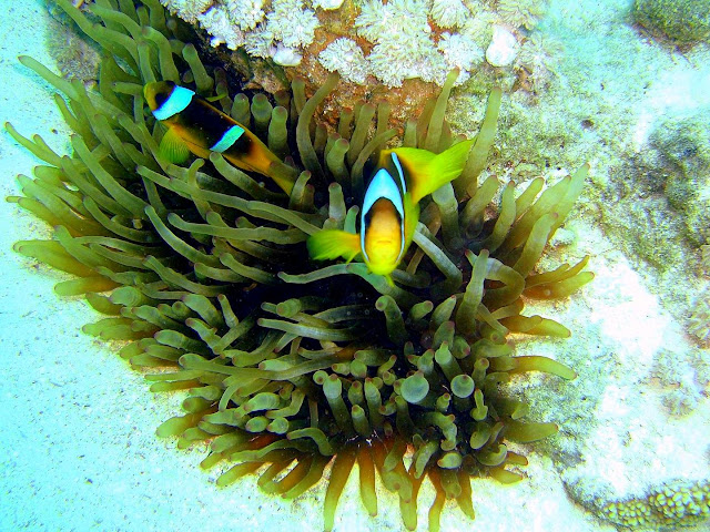two-bar clownfish, sea anemone, northern red sea, egypt