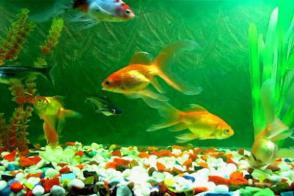 Tips Menjaga Kejernihan, Kebersihan, Kesehatan Ikan Di Akuarium