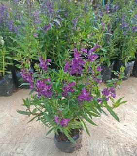 bibit-bunga-lavender-lokal-murah.jpg