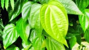 Benefits of betel leaf for pregnant and postnatal mothers